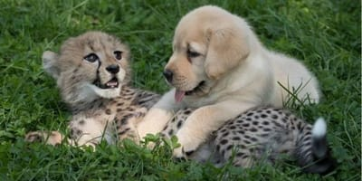 Gepard und Hund