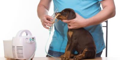 Asma en perros