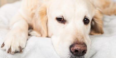 Tiempo que tarda un perro en olvidar a su dueño