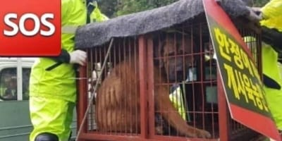 Dog caged by dog meat farmers