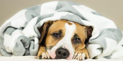 6 symptoms of Cushing 's Disease in dogs