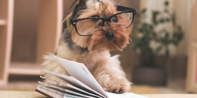 Yorkshire dog wearing glasses and reading a book