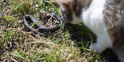 Katze greift Kobra an