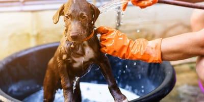 Die erste Hundedusche: So baden Sie einen Welpen