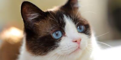 gatos con glaucoma
