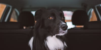 Border Collie sitting in boot of car