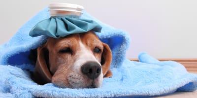 Hund mit Gehirnerschütterung