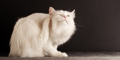 Remedios caseros contra pulgas y garrapatas en gatos