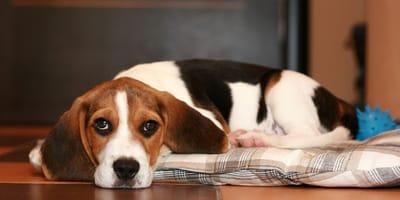 cane su tappeto