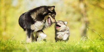 ¿Puedo juntar a mi cachorro con otro perro en casa?