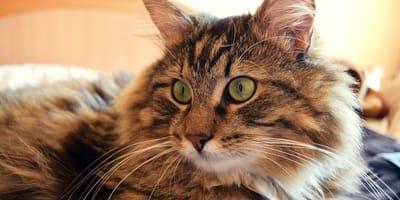 Gatto-col-pelo-lungo-marrone