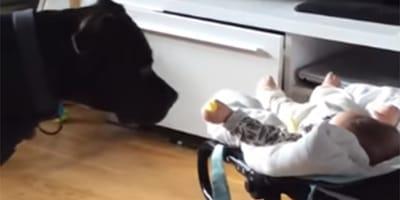 pitbull y bebe
