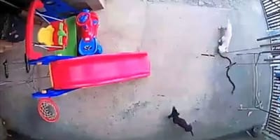 Kampf um Leben und Tod: ein Baby, eine Kobra und zwei Hunde (Video)
