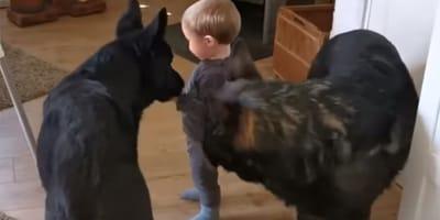 Un bebé y dos pastores alemanes juegan al pilla-pilla: un momento que te alegrará el día (Vídeo)