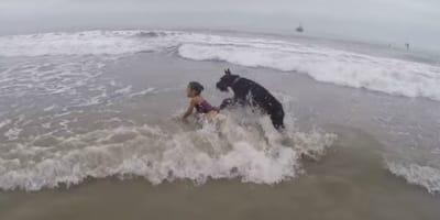 Riesenschnauzer stürmt am Meer auf ein kleines Mädchen zu und... (Video)