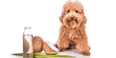 Was bringt Kokosöl für Hunde?