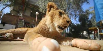 extirpan garras leona zoo