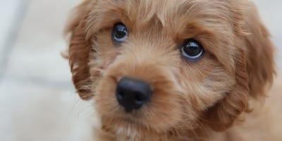 cane meticcio cucciolo