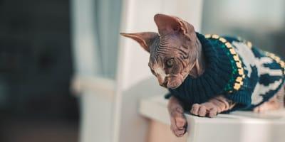 Katze mit Pullover