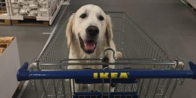 Hund in IKEA Einkaufswagen