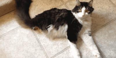 gato dos patas