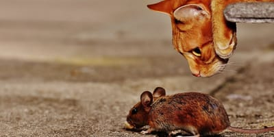 Kot_patrzy_na_mysz