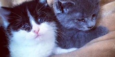 Two tiny kittens found without a mum holding onto each other