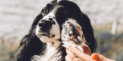 Hund mit Creme auf Pfoten