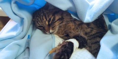 Intoxicación en gatos por pipeta de perro