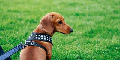 https://www.shutterstock.com/de/image-photo/belgian-shepherd-puppies-487095361