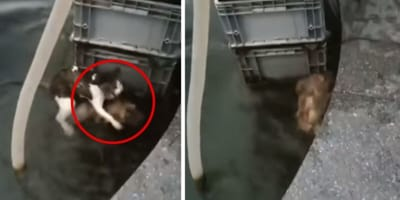 Dog jumps into water to save drowning cat