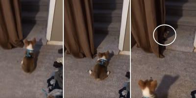 cachorro corgi exige jugar gato