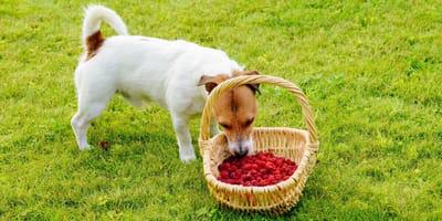 Hund will Himbeeren aus Korb essen