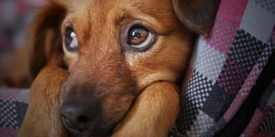The oldest cancer in the world affects our dogs and is sexually transmitted