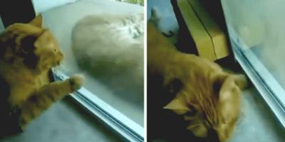 Kot i ryś