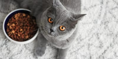 Grey British short hair cat with orange eyes