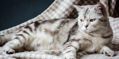 ¿Qué debe comer una gata embarazada?