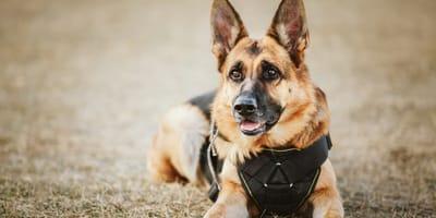 ¿Cómo adoptar un perro policía?