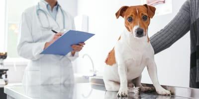 Sterylizacja psa lub suki - na czym polega i kiedy ją przeprowadzić?