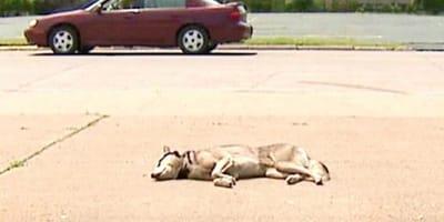 Sieht aus wie ein toter Husky auf der Straße: Denkste!