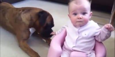 6-miesięczne dziecko pozostawione z bokserem. To, co się między nimi dzieje, jest nieprawdopodobne (VIDEO)