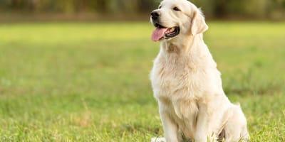 Golden Labrador sitting