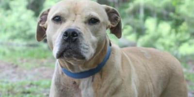 Für Hundekämpfe missbraucht: Pitbull soll eingeschläfert werden, dann bekommt er endlich sein Wunder
