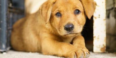 Glista psia - objawy i leczenie