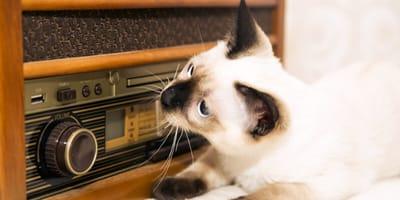 Jak działa koci słuch?