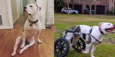 Pigeon the wheelchair pitbull