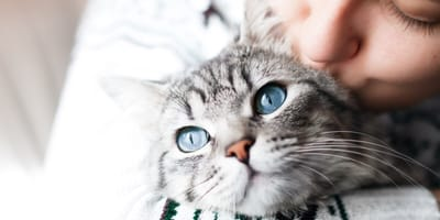 grey cat with blue eyes getting a kiss