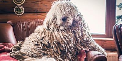 Ein Komondor Wischmop Hund