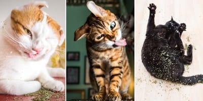 Koty na kocimiętce