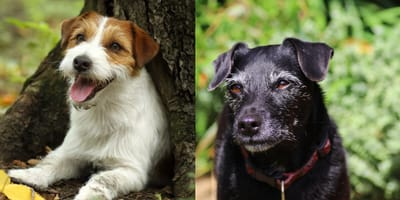 Patterdale and Jack Russell